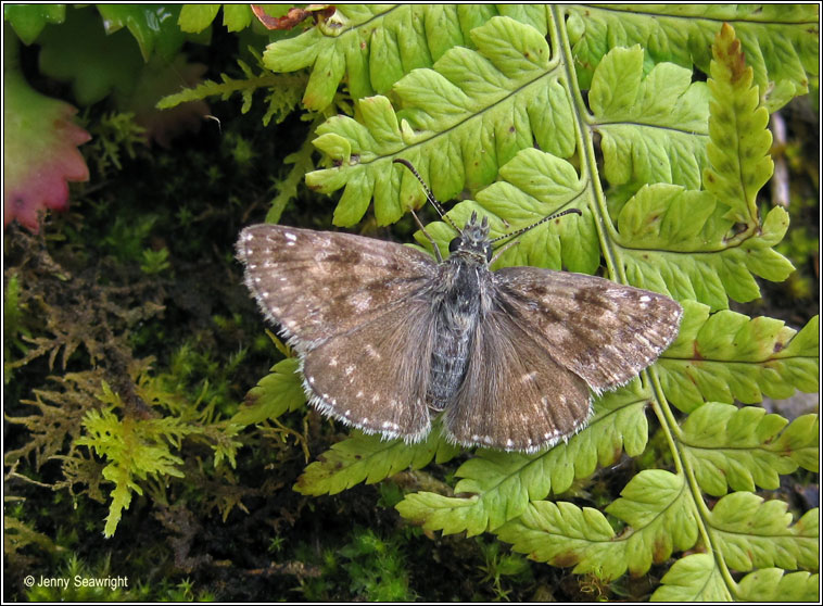 Dingy Skipper, Erynnis tages