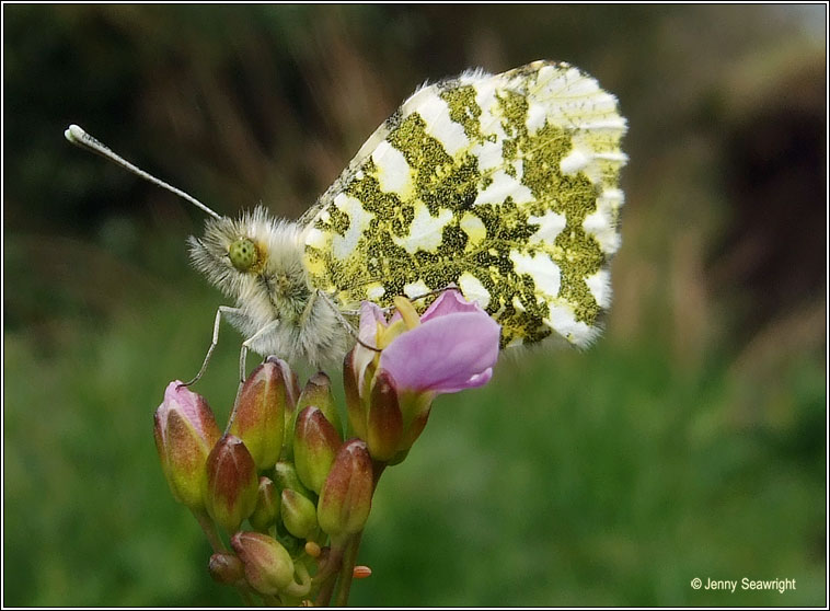 Orange-tip, Anthocharis cardamines