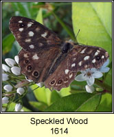 Speckled Wood, Parage aegeria