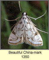 Beautiful China-mark, Nymphula nitidulata