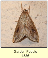 Garden Pebble, Evergestis forficalis