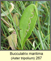 Bucculatrix maritima (leaf mine)
