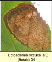 Ectoedemia occultella (leaf mine)
