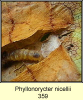 Phyllonorycter nicellii (larva)