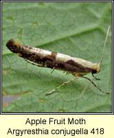 Apple Fruit Moth, Argyresthia conjugella