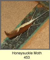 Honeysuckle Moth, Ypsolopha dentella