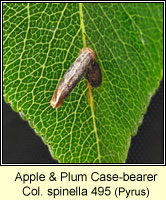 Apple & Plum Case-bearer, Coleophora spinella (case)
