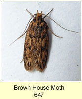 Brown House Moth, Hofmannophila pseudospretella