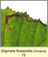 Stigmella floslactella (leaf mine on Hazel)