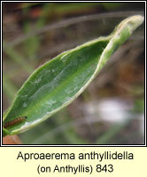 Aproaerema anthyllidella