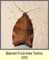 Barred Fruit-tree Tortrix, Pandemis cerasana