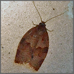 Dark Fruit-tree Tortrix, Pandemis heparana