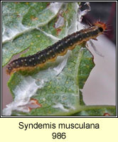 Syndemis musculana (caterpillar)
