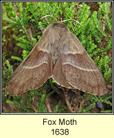 Fox Moth, Macrothylacia rubi