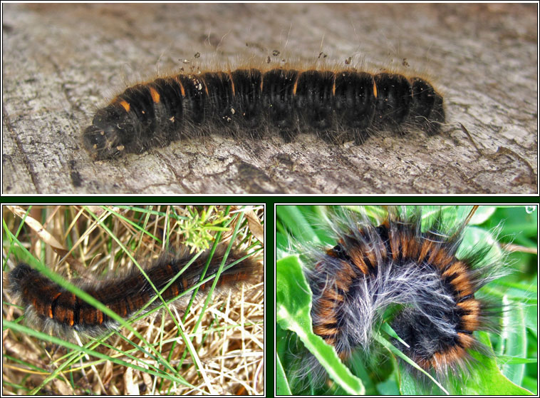 Fox Moth, Macrothylacia rubi, caterpillar