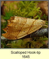 Scalloped Hook-tip, Falcaria lacertinaria