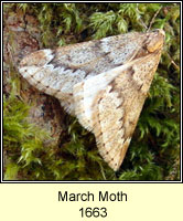 March Moth, Alsophila aescularia