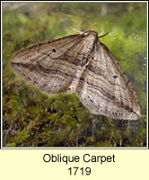 Oblique Carpet, Orthonama vittata