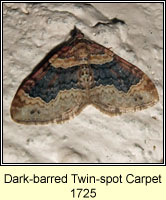 Dark-barred Twin-spot Carpet, Xanthorhoe ferrugata