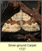 Silver-ground Carpet, Xanthorhoe montanata