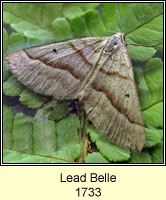 Lead Belle, Scotopteryx mucronata