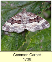 Common Carpet, Epirrhoe alternata