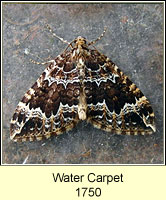 Water Carpet, Lampropteryx suffumata