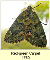 Red-green Carpet, Chloroclysta siterata