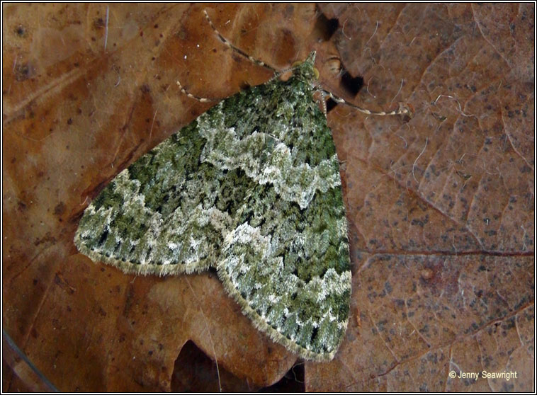 Autumn Green Carpet, Chloroclysta miata