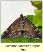 Common Marbled Carpet, Chloroclysta truncata
