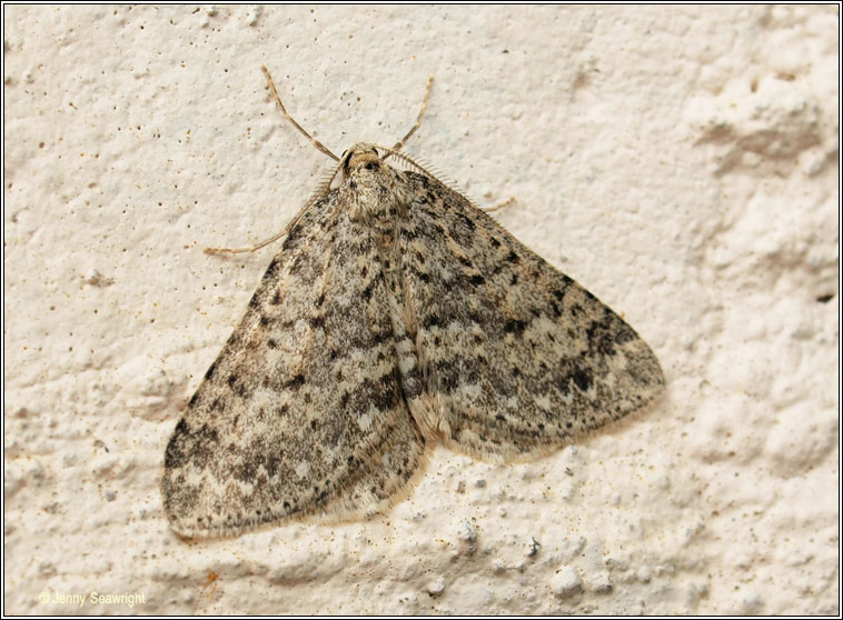 Mottled Grey, Colostygia multistrigaria
