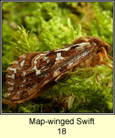 Map-winged Swift, Hepialus fusconebulosa