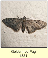 Narrow-winged Pug, Eupithecia virgaureata