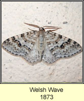 Welsh Wave, Venusia cambrica