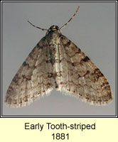 Early Tooth-striped, Trichopteryx carpinata