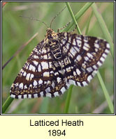 Latticed Heath, Chiasmia clathrata