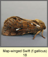 Map-winged Swift, Hepialus fusconebulosa f gallicus