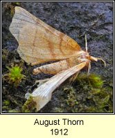 August Thorn, Ennomos quercinaria