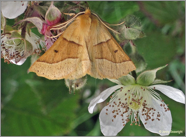 Scalloped Oak, Crocallis elinguaria