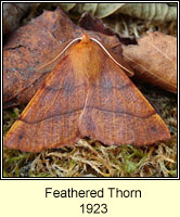 Feathered Thorn, Colotois pennaria