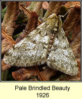 Pale Brindled Beauty, Phigalia pilosaria