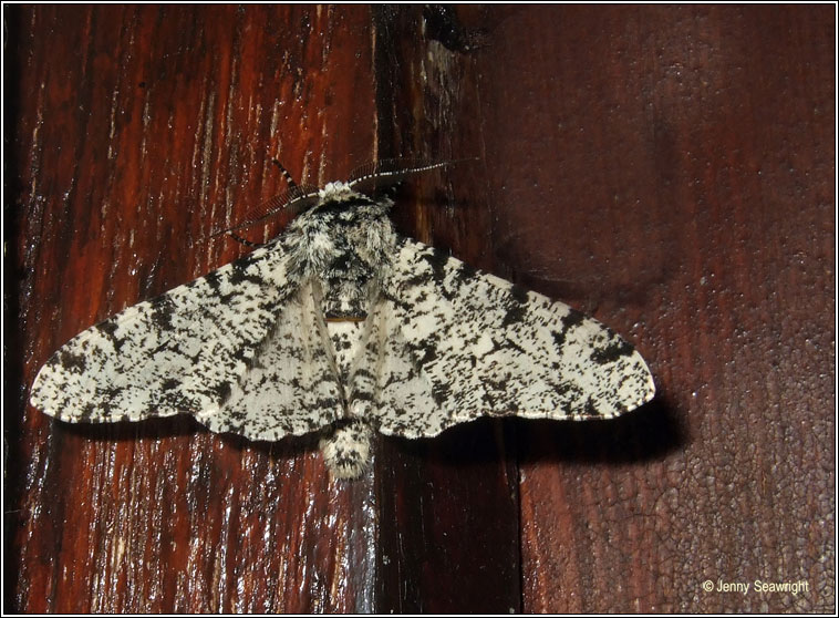 Peppered Moth, Biston betularia f.insularia