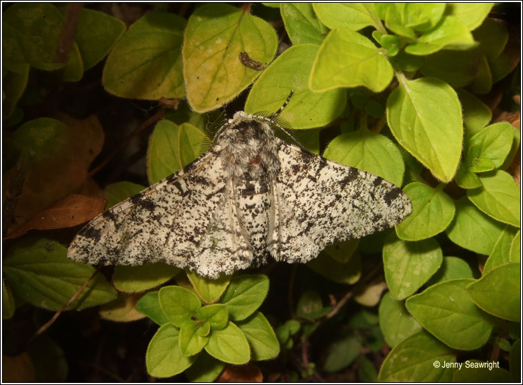 Peppered Moths