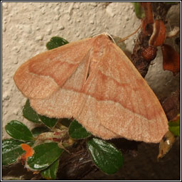 Barred Red, Hylaea fasciaria