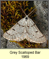 Grey Scalloped Bar, Dyscia fagaria