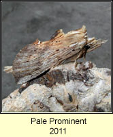 Pale Prominent, Pterostoma palpina