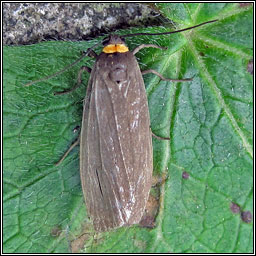 Red-necked Footman, Atolmis rubricollis