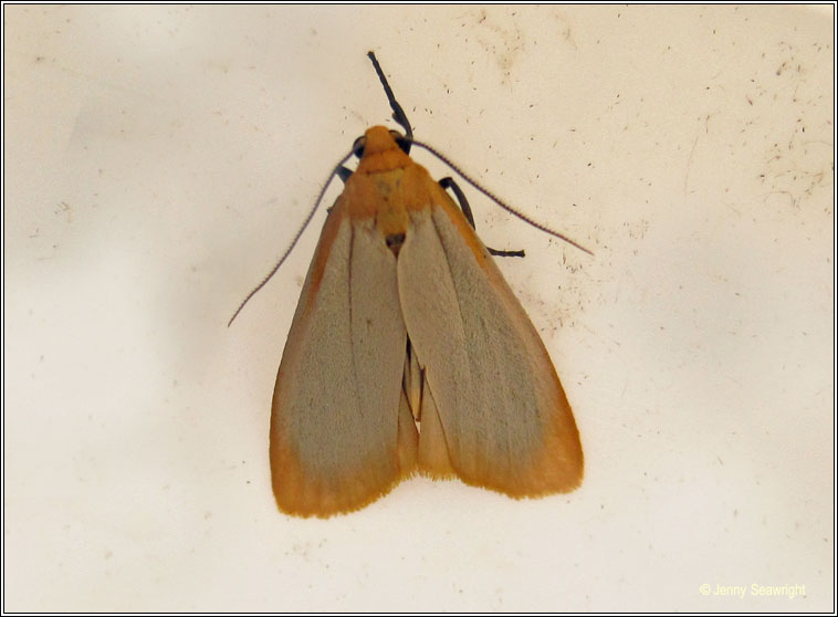 Buff Footman, Eilema depressa
