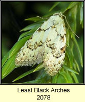 Least Black Arches, Nola confusalis