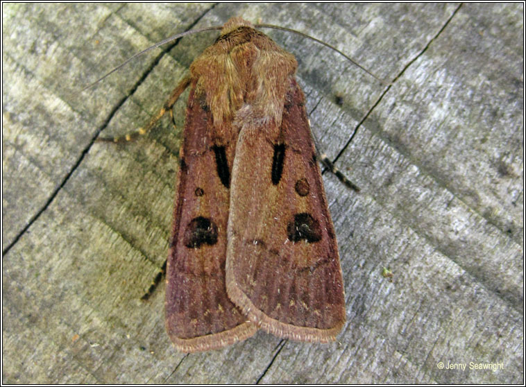 Heart and Dart, Agrotis exclamationis